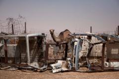 Les chameaux sont élevés dans les territoires libérés du Sahara occidental (zone occupée par les Sahraouis). Lorsqu'ils sont prêts à être abattus, ils sont conduits dans des enclos dans les camps. Leur viande est ensuite vendue au marché.